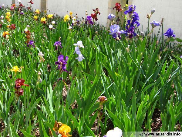 Un massif composé de différentes variétés d'iris