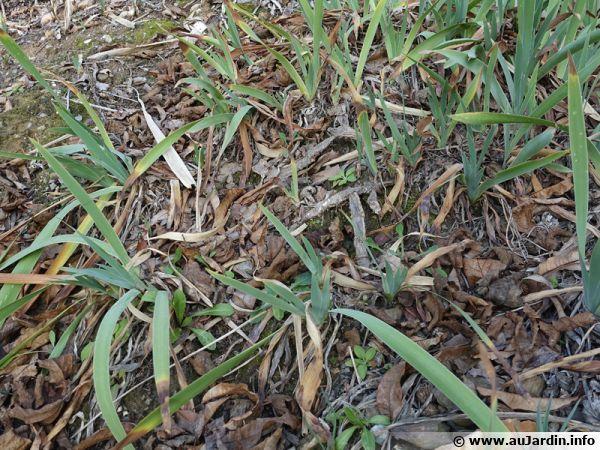 Des iris contre l'érosion de ce sol en pente dans le sud grâce à leurs rhizomes puissants