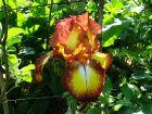 Iris d'Allemagne, Iris des jardins, Iris germanica