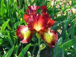Hybrider des iris barbus