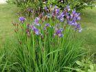 Iris de Sibérie, Iris sibirica