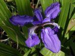 Iris des toits, Iris tectorum