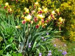 Fleur d'Iris des jardins