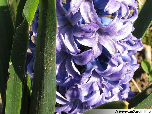 Un jacinthe en fleurs