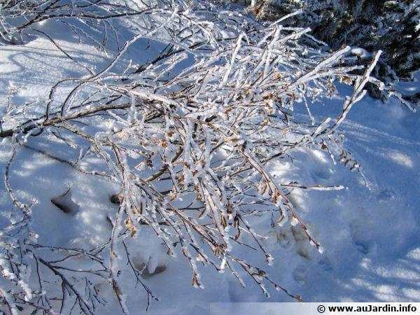 Les végétaux sous la neige