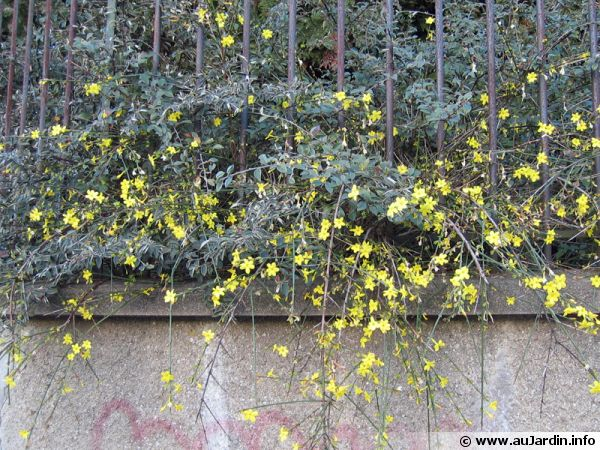 Jasmin d 39 hiver jasminum nudiflorum conseils de culture for Jardin hiver plantation