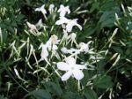 Des jasmins pour tous les goûts et tous les jardins