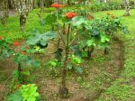 Baobab nain, plante bouteille, Jatropha podagrica