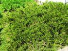 Genévrier sabine, Sabinier, Genévrier fétide, Juniperus sabina