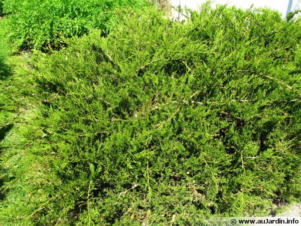 Gen�vrier sabine, Sabinier, Gen�vrier f�tide, Juniperus sabina