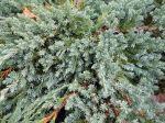 Genévrier écailleux, Juniperus squamata