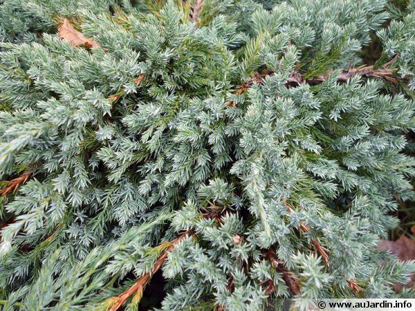 gen u00e9vrier  u00e9cailleux  juniperus squamata   planter  cultiver
