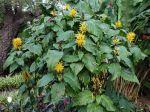 Jacobinia jaune, Justicia à fleurs jaunes, Carmantine, Justicia aurea