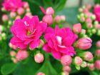 Calandiva, Kalanchoé à fleurs doubles, Kalanchoe blossfeldiana 'Calandiva'
