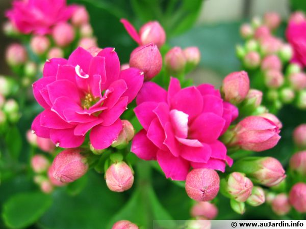calandiva  kalancho u00e9  u00e0 fleurs doubles  kalanchoe