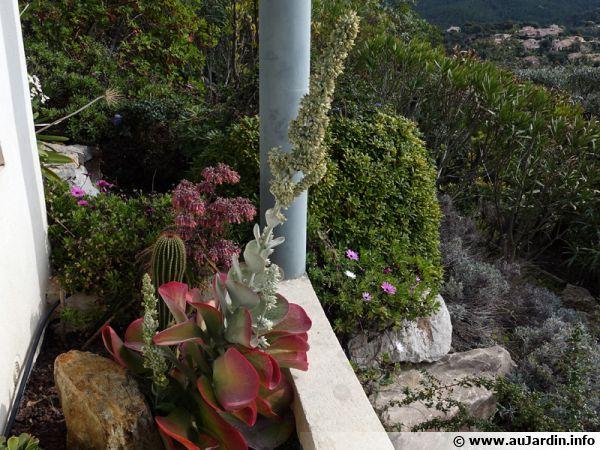 Kalanchoe luciae en rocaille extérieure en climat méditerranéen