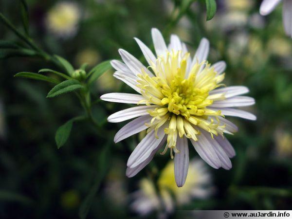 Aster japonais, Kalimeris pinnatifida 'Hortensis'
