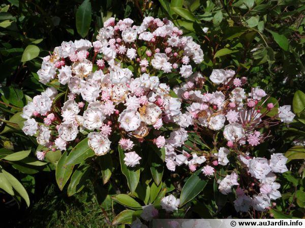 Le kalmia est un ami des plantes de terre de bruyère