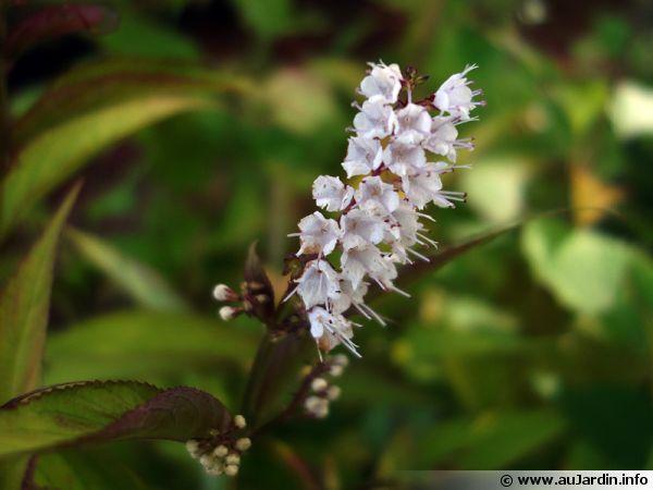 Collinsonia japonica, Keiskea japonica, Plante pilier de givre
