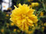 Fleur de la Corête du Japon