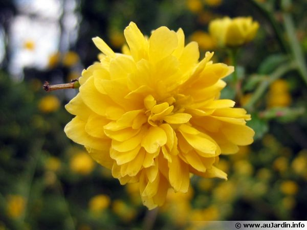 cor te du japon kerria japonica planter cultiver multiplier. Black Bedroom Furniture Sets. Home Design Ideas