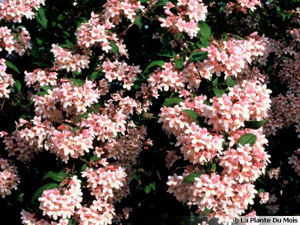 Buisson de beauté, Kolkwitzia amabilis