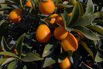 Quand récolter et comment déguster les kumquats?