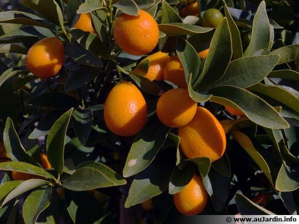Des kumquats prêt à être récoltés et dégustés !