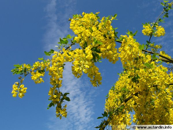 Fleurs du cytise commun