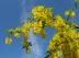 Cytise commun, Laburnum vulgare, Aubour, Faux ébénier, Bois de Lièvre, Laburnum anagyroides