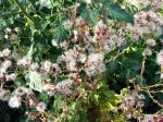 Fleurs de laitue montées en graines