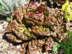 Laitue cultivée, Lactuca sativa