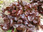 Les salades rouges