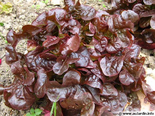 Les salades rouges - Variete de salade d hiver ...