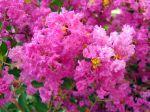 Lilas des Indes, Fleur de mousseline, Myrte de crêpe, Lagerose, Lagerstroemia indica