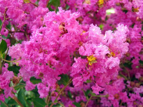 Lilas des indes fleur de mousseline myrte de cr pe lagerose lagerstroemia indica - Arbre lilas des indes ...