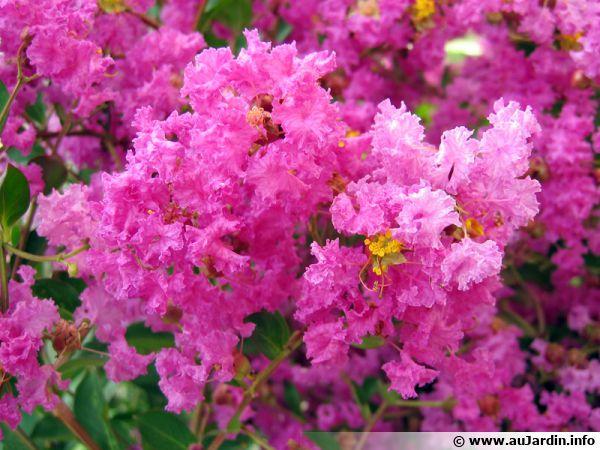 Fleurs du lilas des Indes