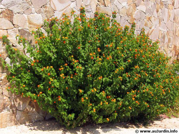 Le lantana est un arbuste résistant à la sécheresse