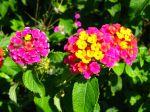 Fleurs du lantanier