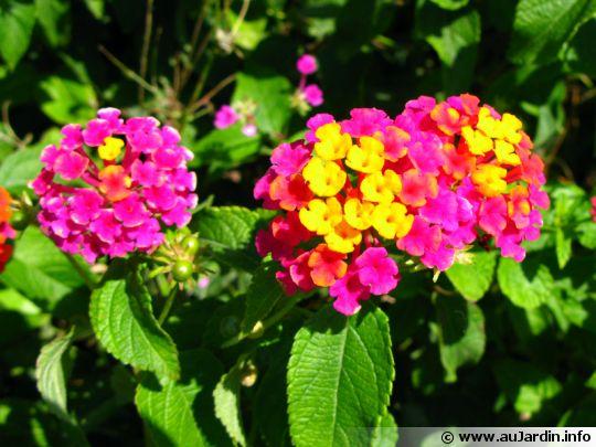 Lantanier, mille fleurs, corbeille d'or