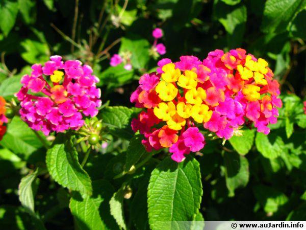 Lantanier Lantana Camara Planter Cultiver Multiplier