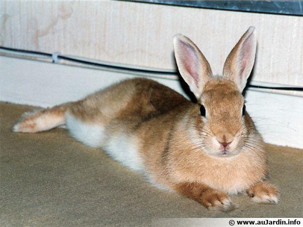 Un lapin nain, merveilleux compagnon ...