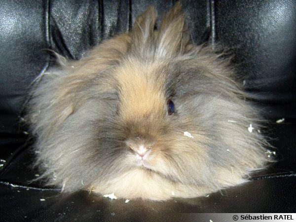 Un lapin nain ou plutôt une boule de poils installé sur le canapé