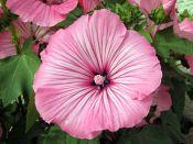 Fleurs annuelles et bulbes d'été