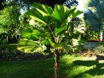 Palmier cuillère, Licuala grandis
