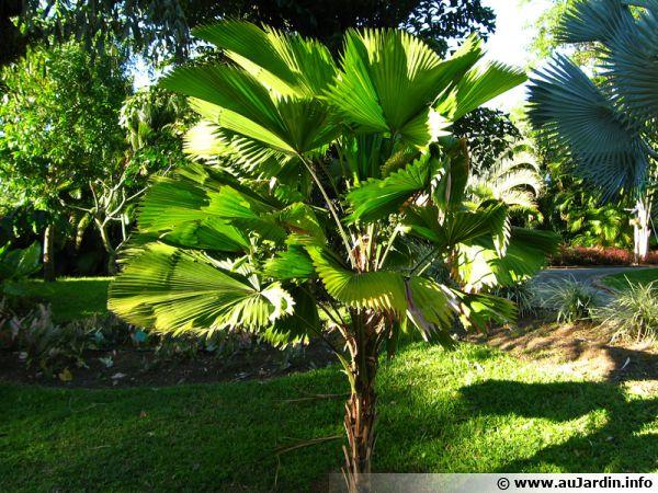 palmier cuill re licuala grandis planter cultiver multiplier. Black Bedroom Furniture Sets. Home Design Ideas