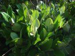 Troène du Texas, Ligustrum japonicum 'Texanum'