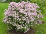 Plantation, taille et entretien du lilas