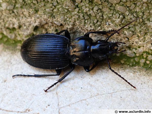 Limodromus assimilis, un carabe noir