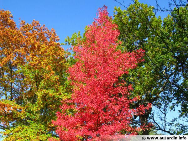 Trois arbres pour un automne coloré